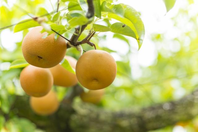 梨なしナシダイエット