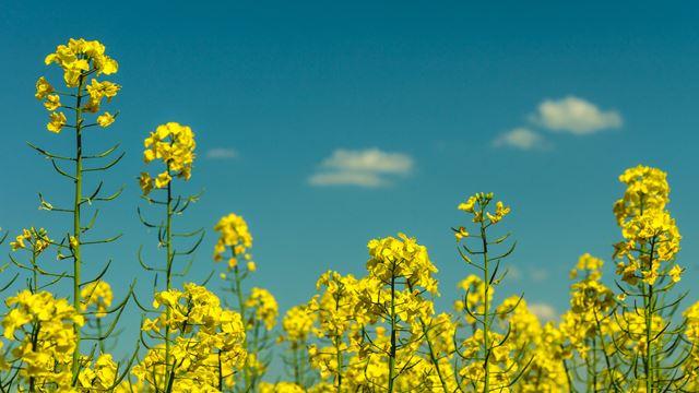 花粉対策菜の花