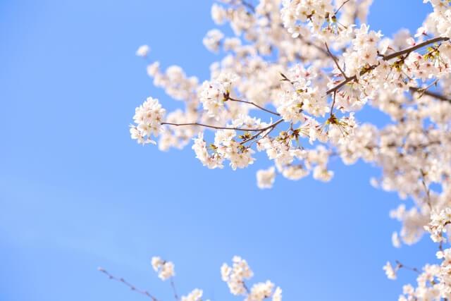 桜強力パワー開運運気アップお花見神様