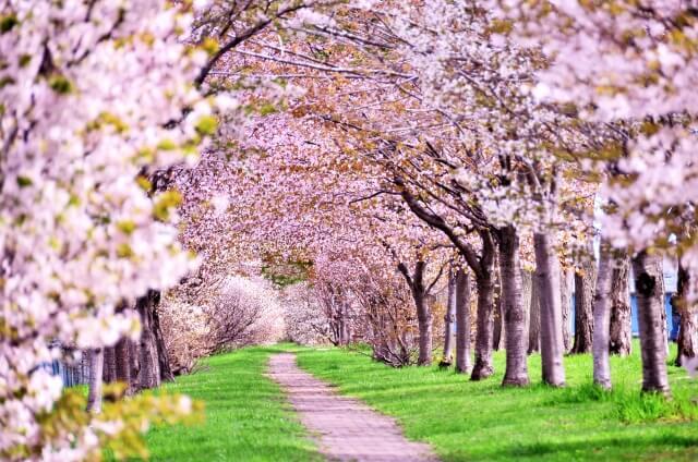 桜強力パワー開運運気アップお花見ルールエネルギー