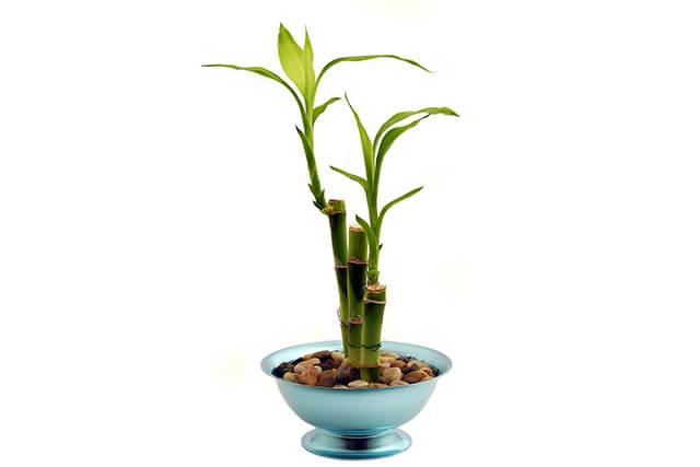仕事運アップおすすめ観葉植物ミリオンバンブー