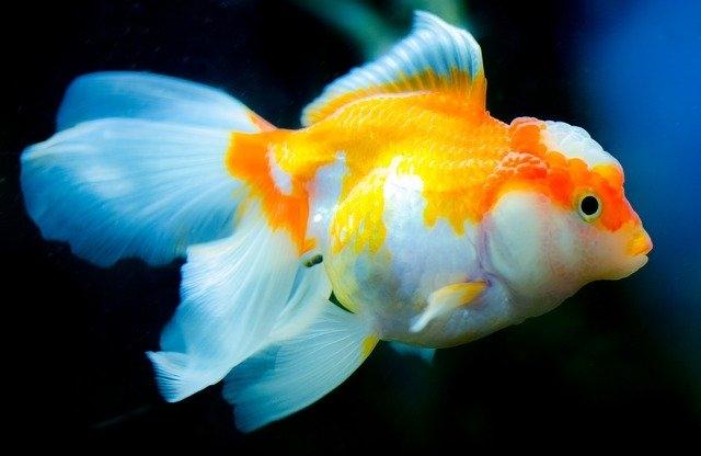 アクアリウム金運おすすめ金魚